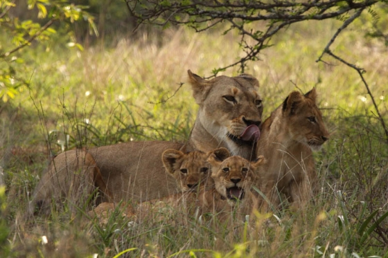 Lioness and cubs at Purple Roller Junction by Graham Benfield