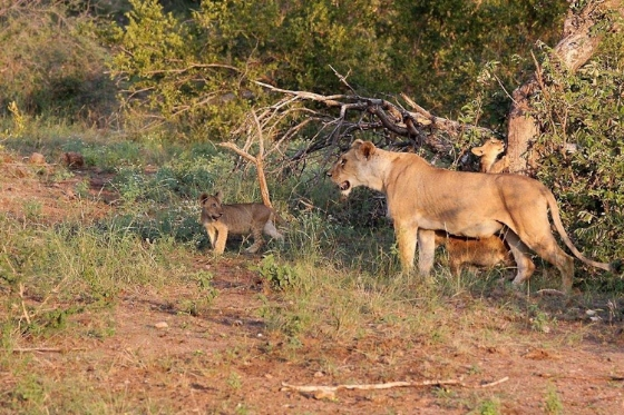Lioness and cubs on River Loop. Teich B25