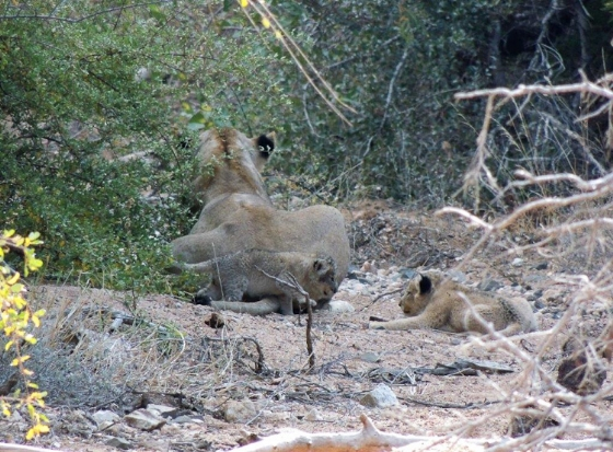 Lioness and two cubs by Kelly B12