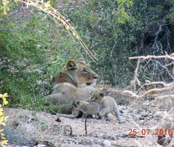 Lioness and two cubs playing by Kelly B12