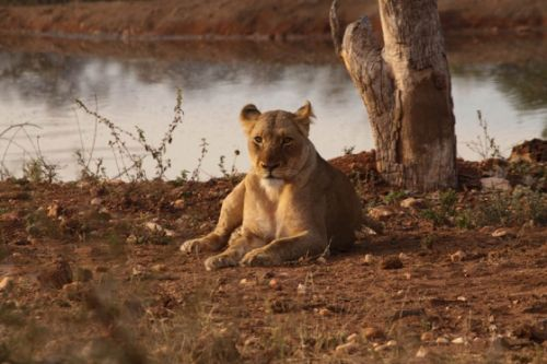 Lioness at Kudu Pan by Graham Benfield 4