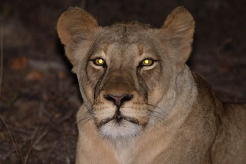 Lioness at Kudu pan by Graham Benfield