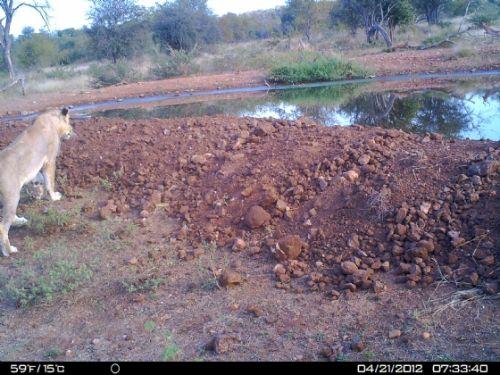 Lioness at Kudu pan
