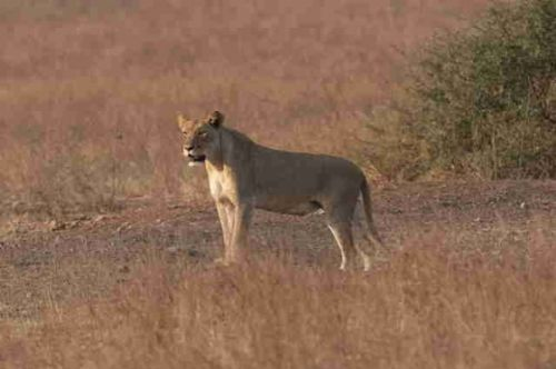 Lioness at Warthog Pan by Eileen Fletcher