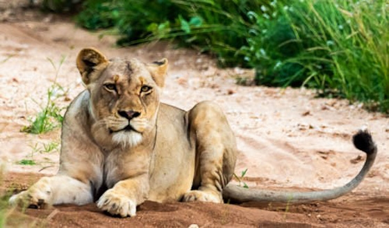 Lioness at Wildebeest by John F B35
