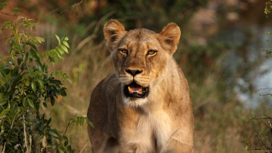 Lioness at Wildebeest by Nic Holzer