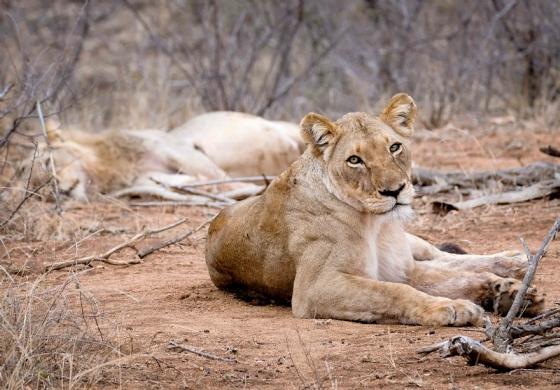 Lioness by Dan B33