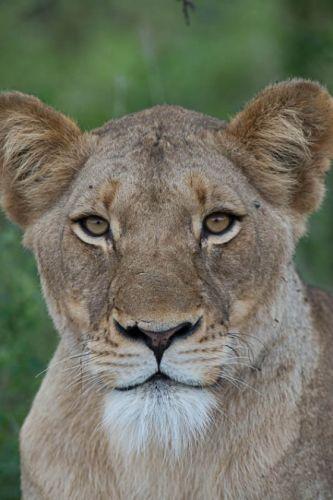 Lioness by Eileen Fletcher
