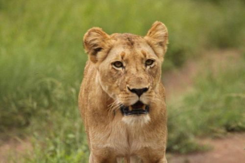 Lioness by Graham Benfield