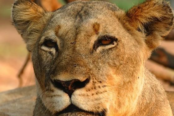 Lioness by John Fletcher