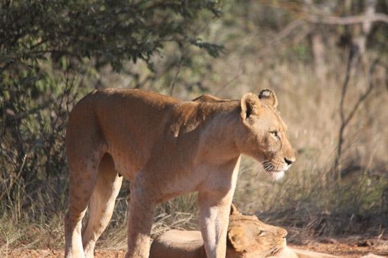 Lioness by Steven B21