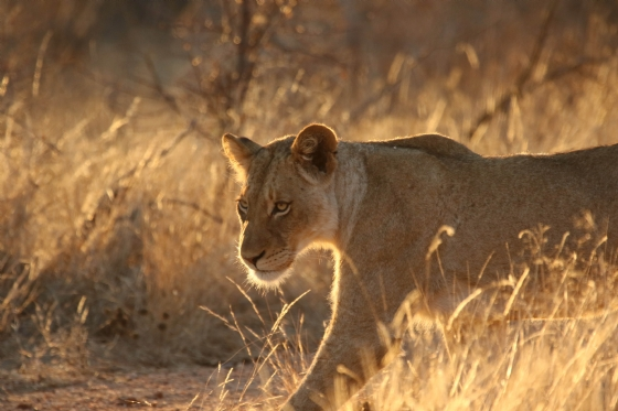 Lioness in soft light byKenny B7