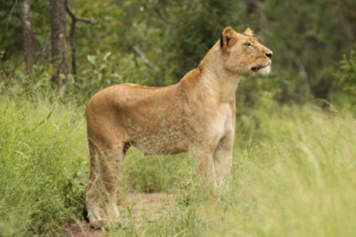 Lioness near Rhino plains by Graham Benfield
