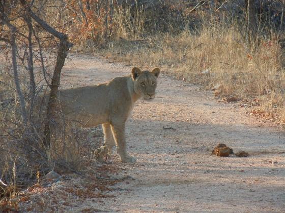 Lioness near Wildebeest Dam - Rene Vromans A4