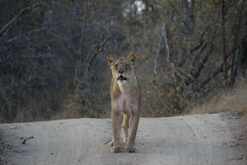 Lioness on Camp road by James Markham