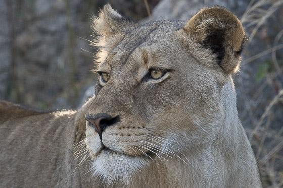 Lioness on road by Johann B38