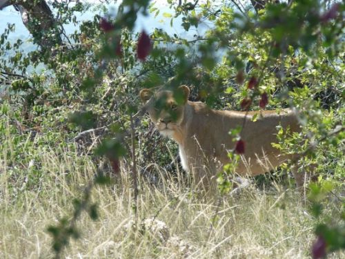 Lioness seen on Mica Hill 24 December by Ray Fallows
