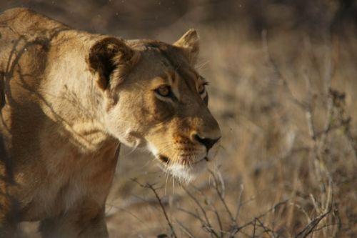 Lioness stalking by James Markham