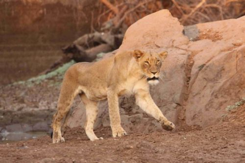 Lioness with Kuifkop by Graham Benfield