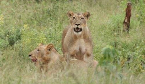 Lioness with cub at Kudu Pan by Kenny Jones