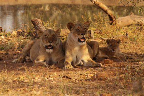 Lionesses and cub at Kudu Pan
