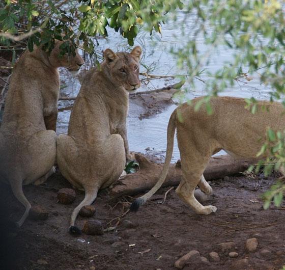 Lionesses at Pels Loop by James B21
