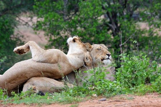 Lionesses bonding on River Loop. Teich B25.