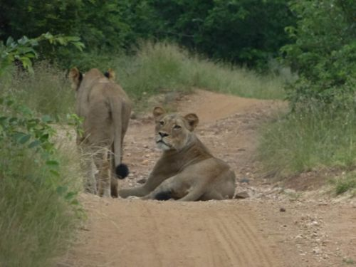 Lionesses near causeway 24 Feb by Dave Ball