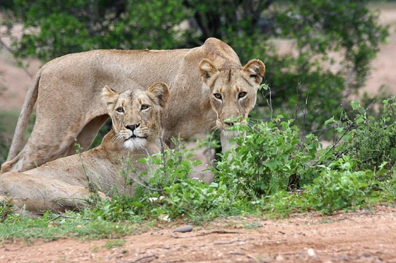 Lionesses on River Loop. Teich B25