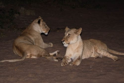 Lionesses on old airstrip by Graham Benfield