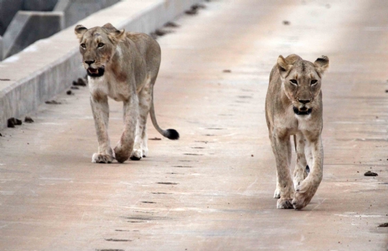 Lionesses on the Causeway 2 by Nic Holzer