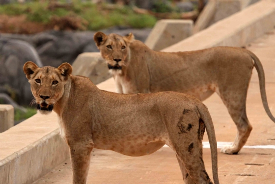 Lionesses on the Causeway by Nic Holzer