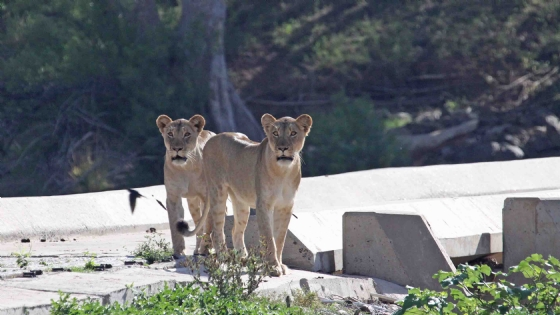 Lionesses on the bridge by Nic Holzer