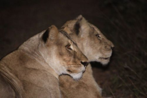 Lionesses that crossed bridge south to north by Graham Benfield