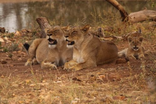 Lionesses with cub at Kudu Pan by Graham Benfield