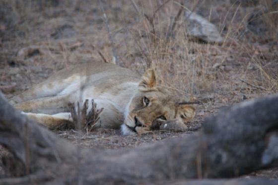 Lions 2 by James Markham B21