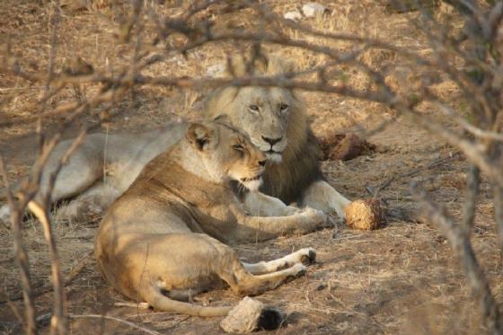 Lions 3 by James Markham B21