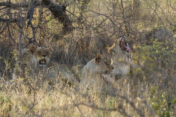 Lions By Simon B19 (1)