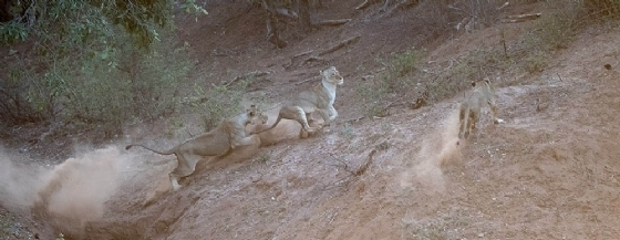 Lions at play 2 by Johann B38