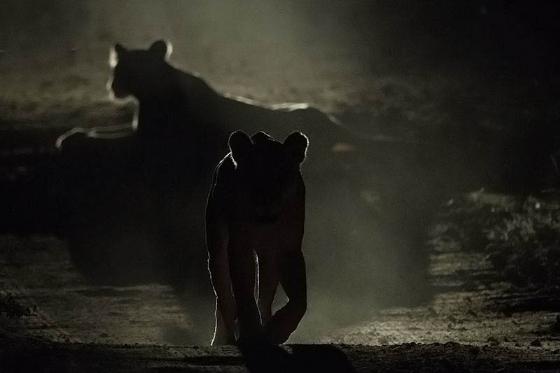 Lions by JG B38