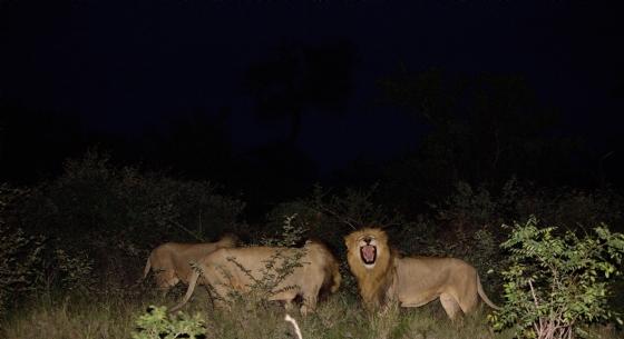 Lions by Jason B5