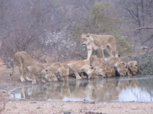Lions by Lee Sarkin 3