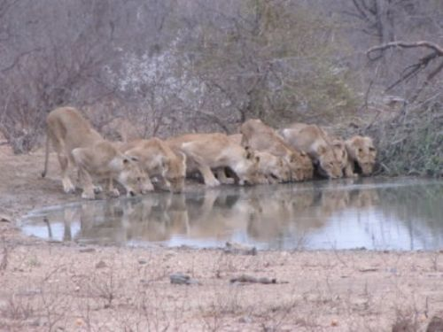 Lions by Lee Sarkin 4