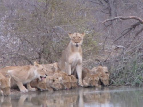Lions by Lee Sarkin