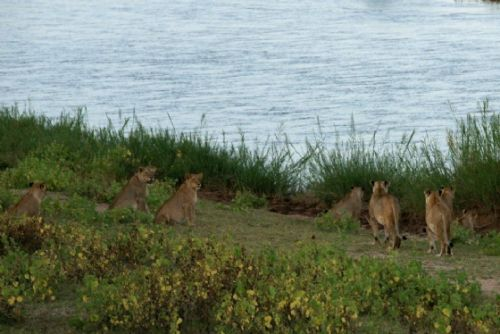 Lions by Roy and Joan B21