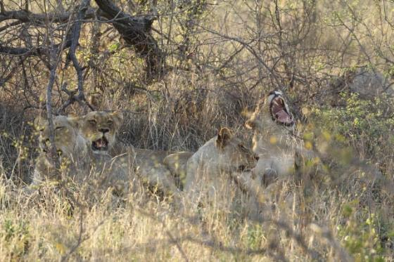 Lions by Simon B19 (2)