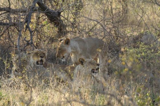 Lions by Simon B19 (3)