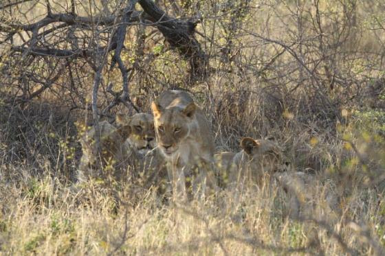 Lions by Simon B19 (4)