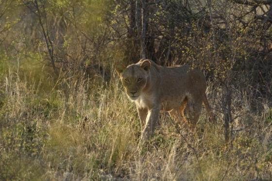 Lions by Simon B19 (6)