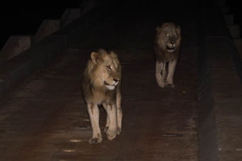 Lions crossing causeway by Graham Benfield